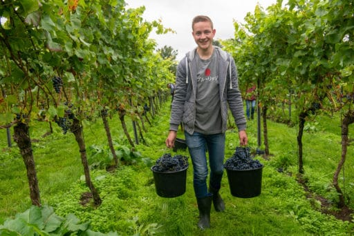 druivenoogst-grapes-wine-making-bas-huisman-reestlandhoeve